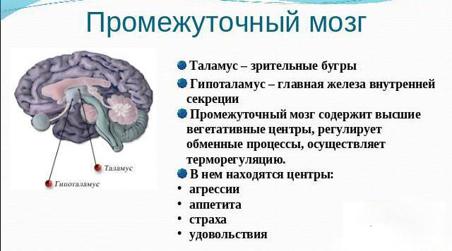 Строение промежуточного мозга в картинках